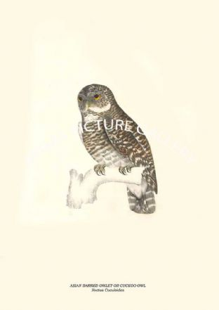 ASIAN BARRED OWLET OR CUCKOO OWL - Noctua Cuculoides